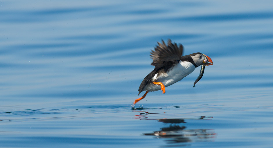 Atlantic puffin - fratercula arctica. Photo: Stefan Linnerhag, Swedenpicture