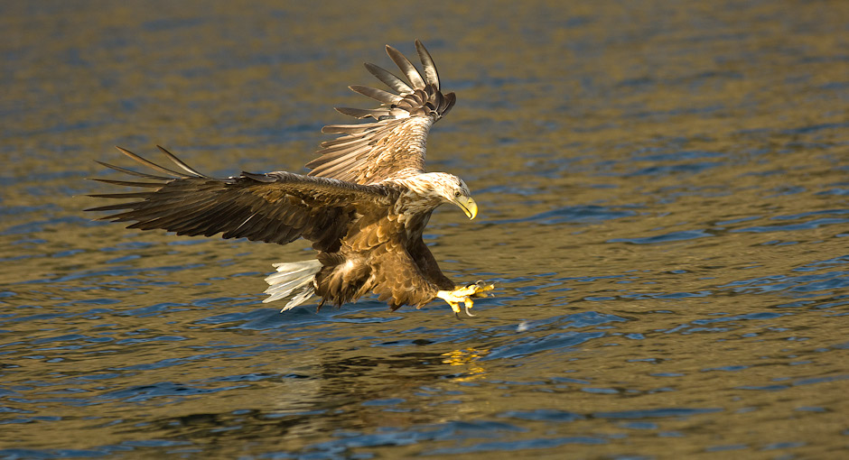 Sea eagle - haliaeetus pelagicus. Photo: Stefan Linnerhag