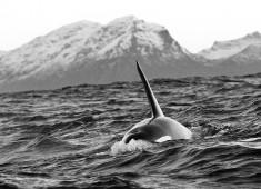 Killerwhale (orcinus orca) in Vestfjord, Norway. Foto@Stefan Linnerhag
