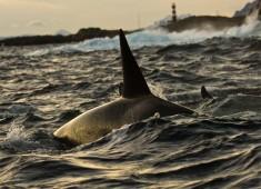 Killerwhales (orcinus orca) in Vestfjord, Norway. Foto@Stefan Linnerhag