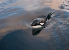 Killerwhale (orcinus orca) in Tysfjord, Norway. Foto@Stefan Linnerhag