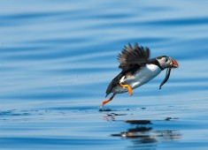 Puffin, fratercula arctica Photo: Stefan Linnerhag