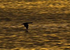 Great Cormorant (Phalacrocorax carbo), Lofoten Photo: Stefan Linnerhag