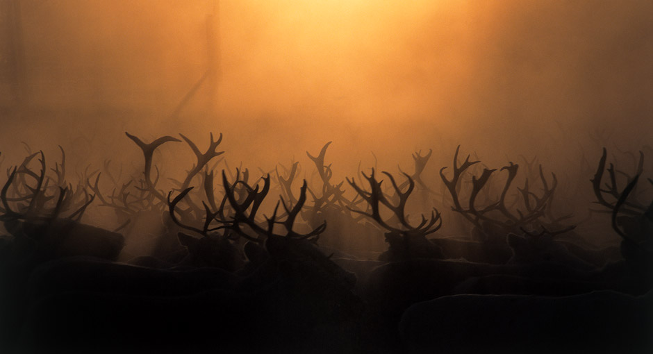 Reindeers in Sweden, Photo: Stefan Linnerhag, Swedenpicture