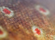 Skinnet på en svensk norrländsk öring