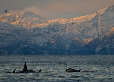 Killerwhales in Vestfjord Lofoten Norway.