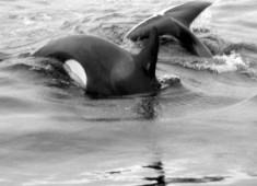 Killerwhales (orcinus orca) in Tysfjord, Norway. Foto@Stefan Linnerhag