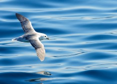 Northern Fulmar (Fulmarus glacialis), Stø Norway. Photo Stefan Linnerhag