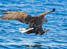 Sea eagle, Haliaeetus pelagicus
